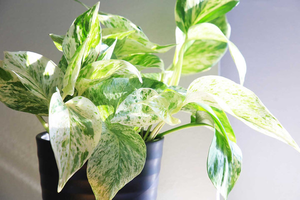 A Pothos of the Snow Queen variety in a mat black pot in the sunshine with a grey background.