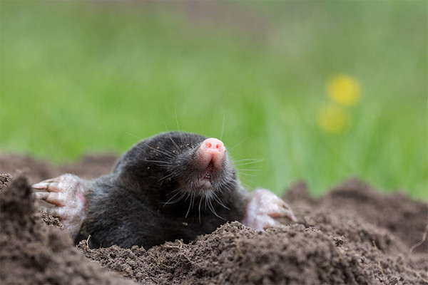 A small black mole appearing out of a mound of dirt.