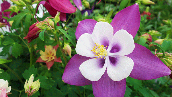 1 Quart Perennial Sale with beautiful columbine flower