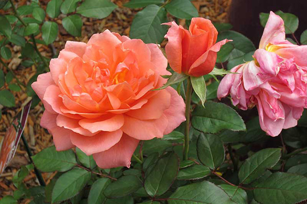 Large pink rose blooms next to dark green foliage.